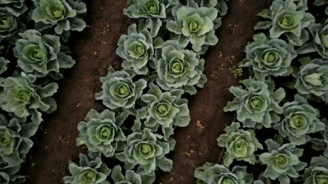 Aerial Field Of Cabbage Aerial drone flight up with spinning from the cabbage field (4K, 25fps) cabbage stock videos & royalty-free footage