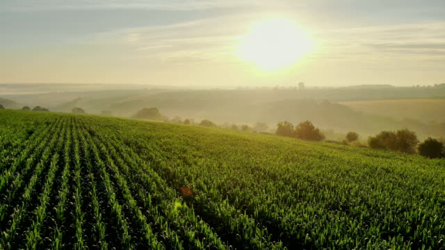 Aerial, Flight above rural countryside landscape with growing corn field with morning sunrise beautiful light. Aerial, Flight above rural countryside landscape with growing corn field with morning sunrise beautiful light. cultivated land stock videos & royalty-free footage