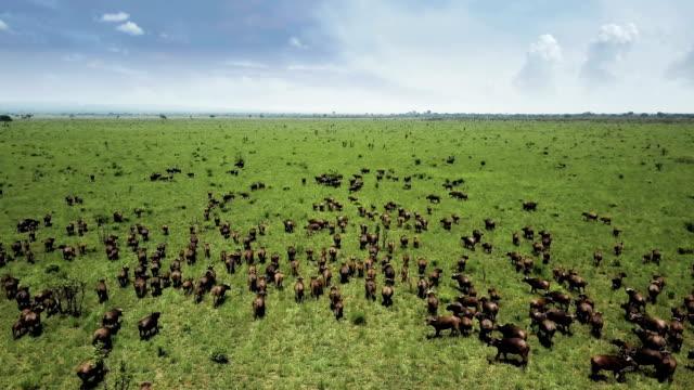 vídeos de stock e filmes b-roll de aerial flight over buffalo stampede in tanzania safari mikumi - quénia