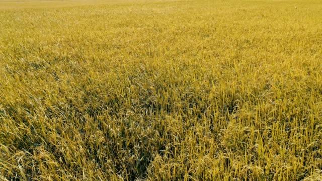 田んぼの空中飛ぶ - 稲点の映像素材/bロール