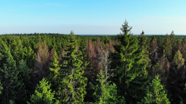 Aerial fly over pine forest trees