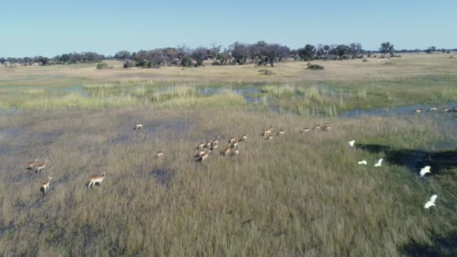 Aerial fly over view of a herd of red Lechwe running through the flooded grasslands of the Okavango Delta video