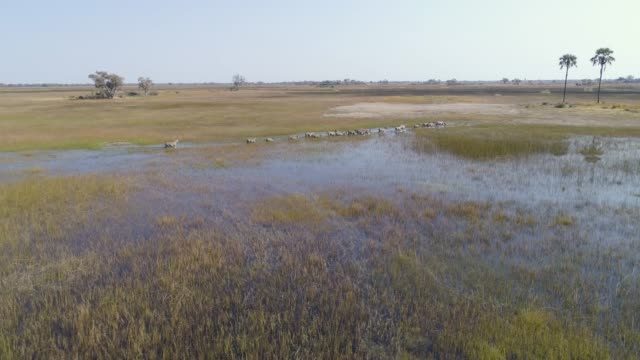 Aerial fly over view of a herd of zebra walking throug the wet grassy plains of the Okavango Delta Aerial fly over view of a herd of zebra walking throug the wet grassy plains of the Okavango Delta botswana stock videos & royalty-free footage