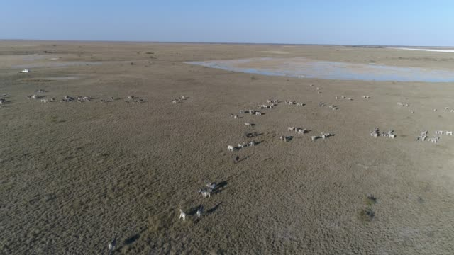 Aerial fly over view of a large group of zebra migrating across the vast Makgadikgadi grasslands, Botswana Aerial fly over view of a large group of zebra migrating across the vast Makgadikgadi grasslands, Botswana makgadikgadi pans national park stock videos & royalty-free footage