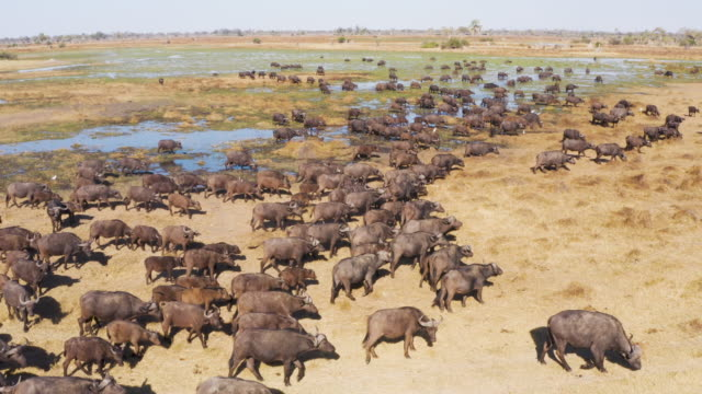 Aerial fly over view of a large herd of Cape buffalo walking in the wetlands of the Okavango Delta, Botswana Aerial fly over view of a large herd of Cape buffalo walking in the wetlands of the Okavango Delta, Botswana botswana stock videos & royalty-free footage