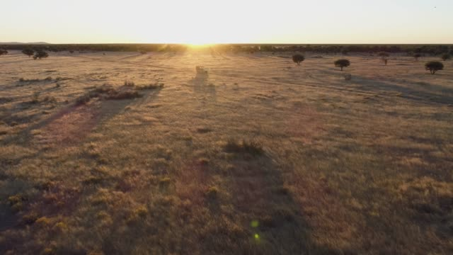 4K aerial fly over view of a safari vehicle driving at sunset through the African savannah grasslands, Namibia 4K aerial fly over view of a safari vehicle driving at sunset through the African savannah grasslands, Namibia grass area stock videos & royalty-free footage