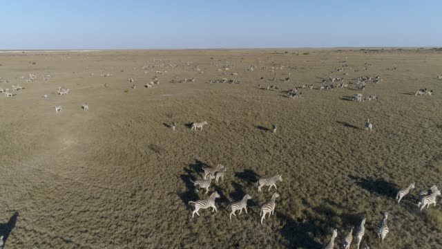 Aerial fly over view of an extremely large group of zebra migrating across the vast Makgadikgadi grasslands, Botswana Aerial fly over view of an extremely large group of zebra migrating across the vast Makgadikgadi grasslands, Botswana makgadikgadi pans national park stock videos & royalty-free footage