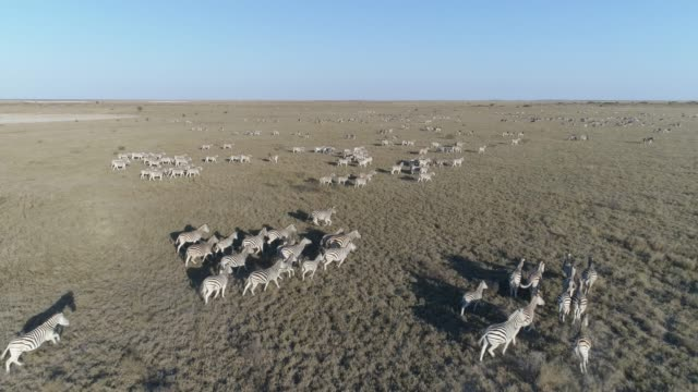 Aerial fly over view of an extremely large group of zebra migrating across the vast Makgadikgadi grasslands, Botswana video