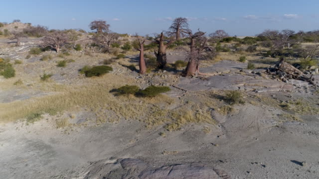 Aerial fly over view of baobabs on Kubu island Aerial fly over view of baobabs on Kubu island, Makgadikgadi Pans ,Botswana salt flat stock videos & royalty-free footage