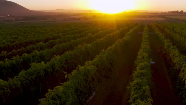 vidéos et rushes de vol aérien au-dessus de la vue des tomates se développant dans la lumière d'extinction d'or sur une ferme végétale à grande échelle - tomate