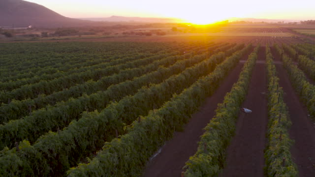 Aerial fly over view of tomatoes growing in the golden sunset light on a large scale vegetable farm