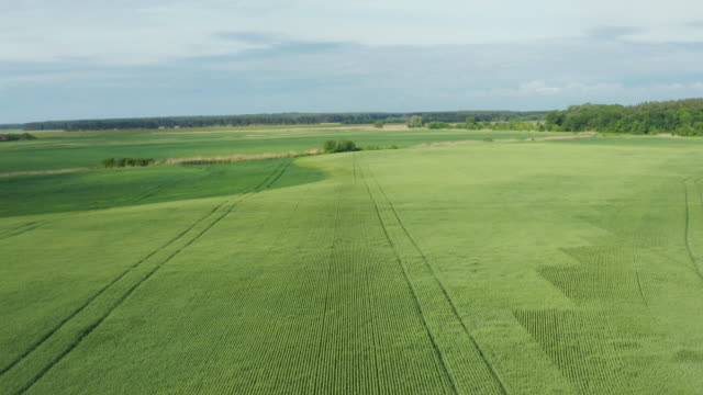 Aerial flying above stunning green wheat field swaying in the wind on country farmland video