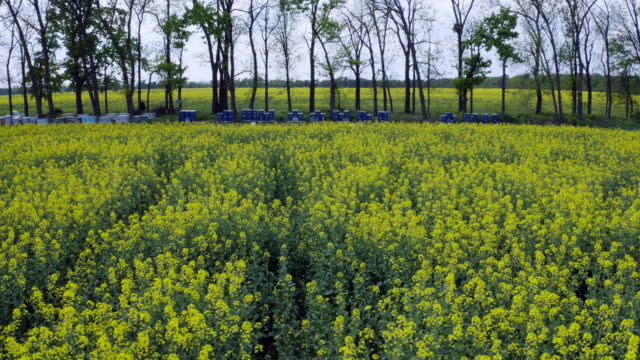 Aerial flying along many hives near blooming yellow rapeseed field. Picturesque canola field under blue sky with white fluffy clouds. Wonderful 4k drone video footage for ecological agricultural concept. video