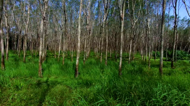 Aerial: Flying in a rubber tree grove. Hevea. video