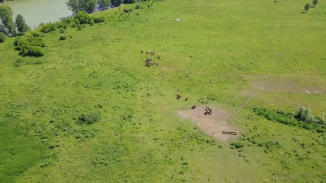 Aerial: Flying in highlands over the forest and field. View of the pasture where livestock, horses and cows graze.