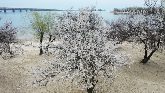 Aerial: Flying over Flowering trees of apricot blossoms against the background of the landscape with the river and the bridge.