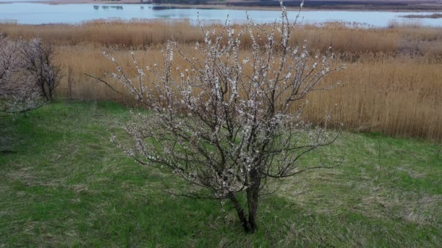 Aerial: Flying over Flowering trees of apricot blossoms against the background of the landscape with the river.  Beautiful early spring landscape with dried canes and trees near water and pine forest, sunrise. video