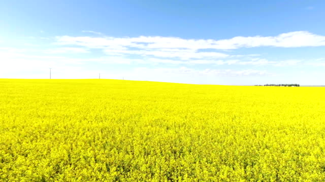 Aerial flyover of yellow canola field on a summer day Aerial flyover of yellow canola field on a summer day prairie stock videos & royalty-free footage