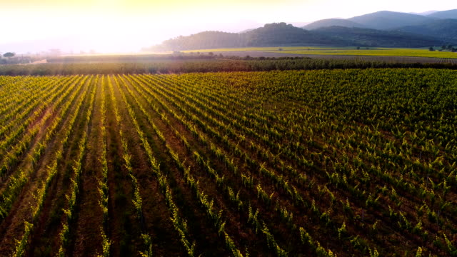 Aerial Flyover Shot of Beautiful Vineyards in the Sunset, Mighty Mountains Seen in the Background. Aerial Flyover Shot of Beautiful Vineyards in the Sunset, Mighty Mountains Seen in the Background. Shot on a Camera in 4K (UHD). plantation stock videos & royalty-free footage