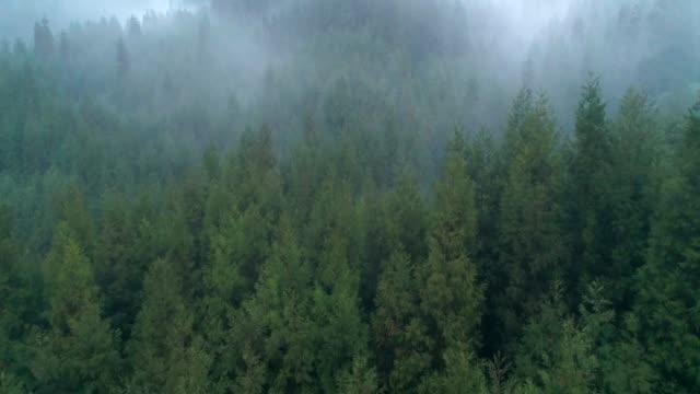 aerial foggy kiefernwälder am morgen, 4k - kiefernwäldchen stock-videos und b-roll-filmmaterial