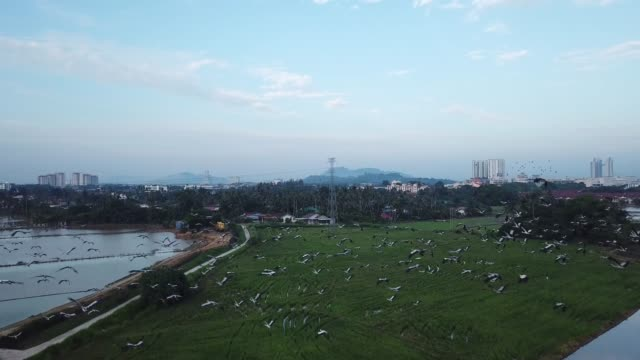 aerial follow flock of asian openbill fly at malaysia - arto inferiore animale video stock e b–roll