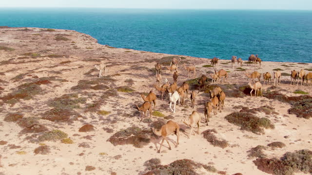 Aerial: Footage Camels walking on great Australian bight, Nullarbor. Outback