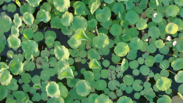 Aerial footage of flying over the pond with a growing lotus