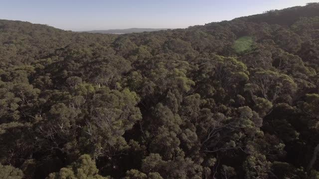 aerial footage av tuggummi träd skogen i australien - eucalyptus leaves bildbanksvideor och videomaterial från bakom kulisserna