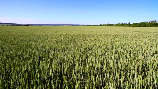 aerial footage over a field of wheat on a sunny day. young wheat swaying in the wind. - gulf coast states stock videos & royalty-free footage