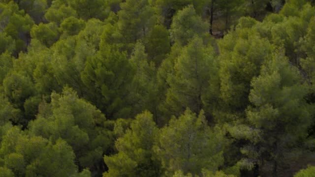Aerial - forest - an oblique and downward take of the trees of a forest video