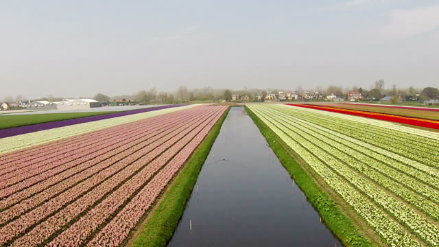 Aerial from blossoming tulip fields in the Netherlands video