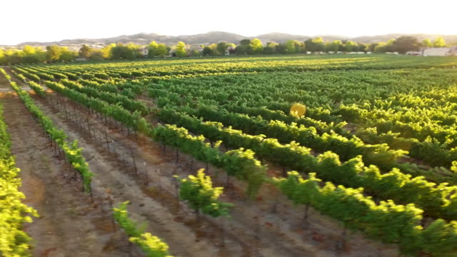 aerial - gorgeous vineyard sunset - azienda vinivola video stock e b–roll