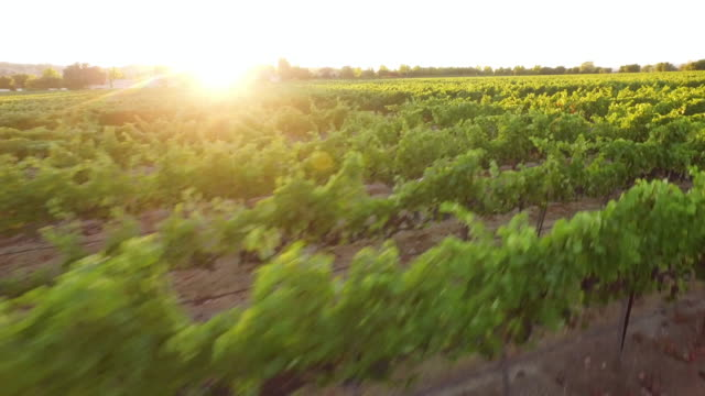 Aerial - Gorgeous Vineyard Sunset