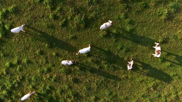 sunrise, mera üzerinde ineklerin hava sürüsü - ahır stok videoları ve detay görüntü çekimi