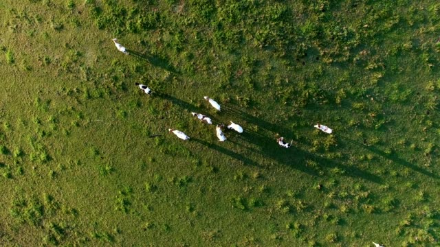 aerial herd of cows on pasture at sunrise - ranch video stock e b–roll