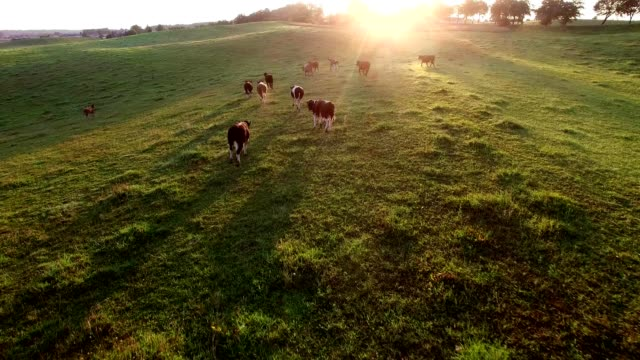 aerial herd of cows running on pasture at sunrise - ранчо стоковые видео и кадры b-roll