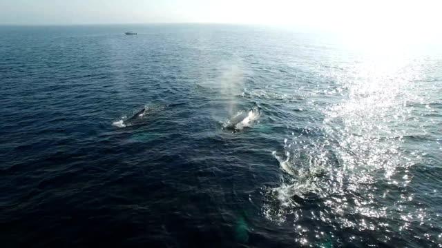 vidéos et rushes de antenne de baleines à bosse - baleine