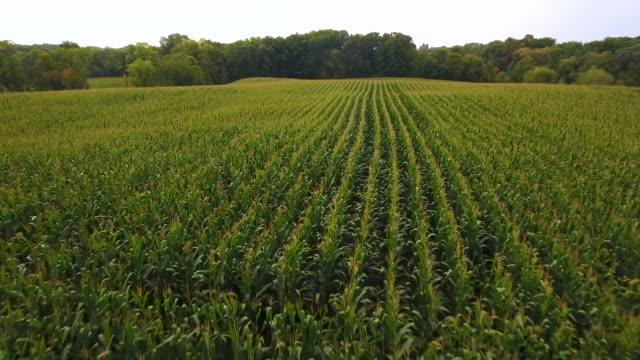 aerial - minnesota corn fields farm - kukurydza zea filmów i materiałów b-roll