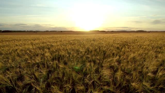 gün batımında sarı olgun kulaklar buğday engin tarım alanı üzerinde hava hareketi i̇leri - çavdar stok videoları ve detay görüntü çekimi