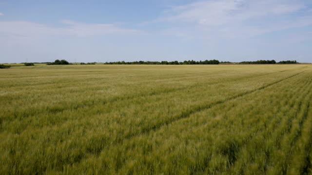 Aerial of a prairie wheat field video