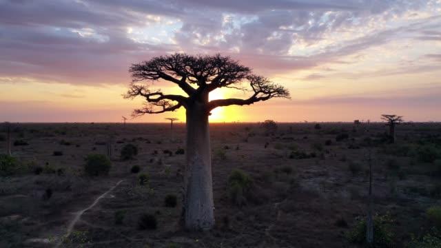 luft von baobab-bäumen in madagaskar, baobab gasse morondava in 4k - affenbrotbaum stock-videos und b-roll-filmmaterial