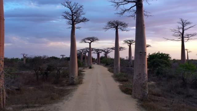 antenn av baobab träd i madagaskar, baobab gränd morondava i 4k - morondava bildbanksvideor och videomaterial från bakom kulisserna