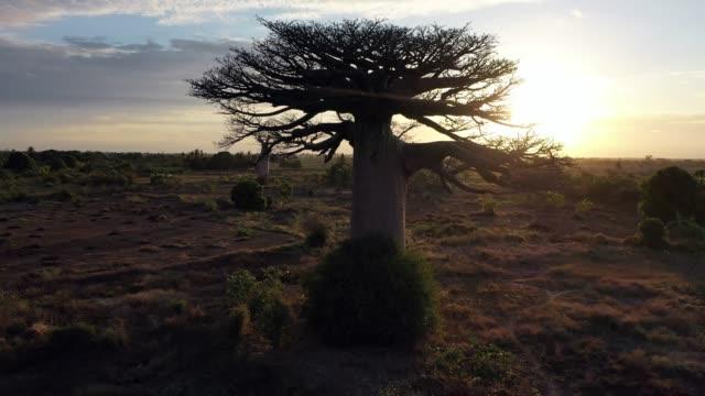 luft von baobab-bäumen in madagaskar, baobab gasse morondava in 4k - morondava stock-videos und b-roll-filmmaterial