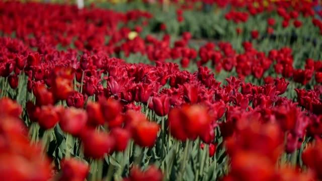 美しいカラフルなチューリップ畑のアンテナ - 花市場点の映像素材/bロール
