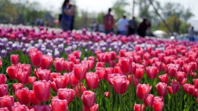 美しいカラフルなチューリップ畑のアンテナ - キューケンホフ公園点の映像素材/bロール
