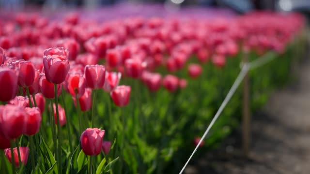 antenn av vackra färgglada tulip område - blomstermarknad bildbanksvideor och videomaterial från bakom kulisserna