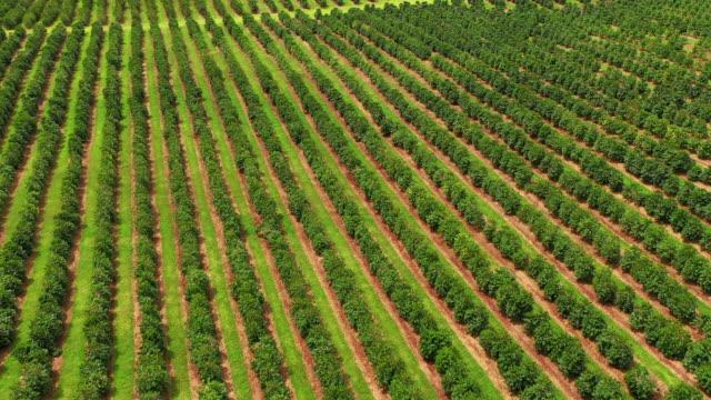 vídeos de stock, filmes e b-roll de antena da plantação de café de kona no console grande havaí - plantação