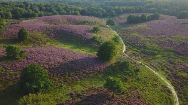 vidéos et rushes de antenne de bruyère pourpre en fleur au parc national de posbank veluwe pays-bas - pays bas