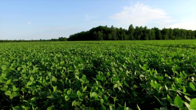 luftaufnahme von soja-crop - feld stock-videos und b-roll-filmmaterial