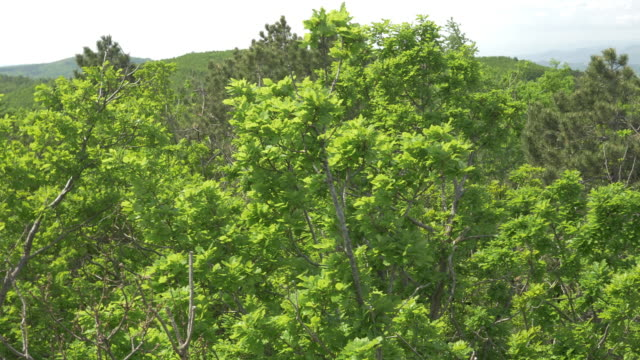 Aerial of treetops in a vast light green forest video